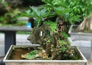 cycad bonsai for sale - - Yahoo Image Search Results