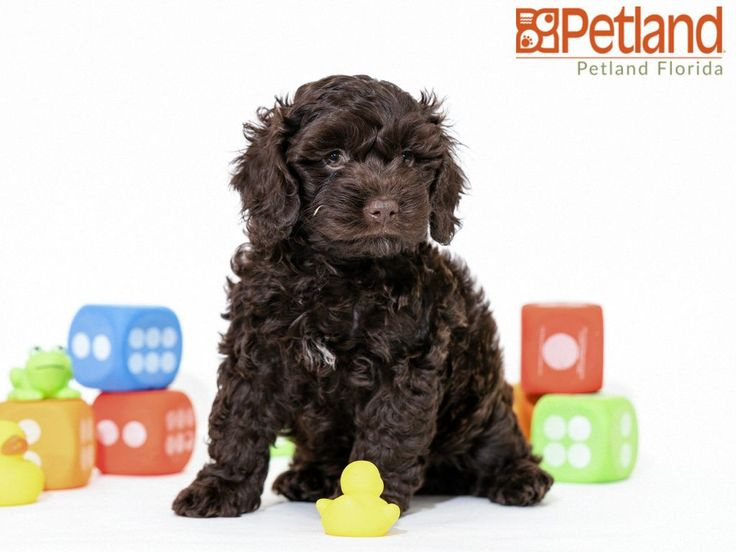 Cockapoo Puppies Florida Rescue Ideas