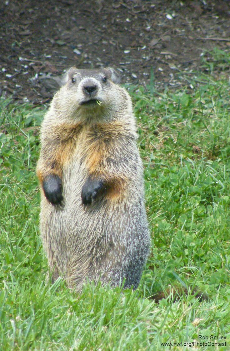 Happy Groundhog Day! 10 Things You May Not Know About These Animals.