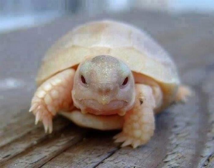 Un bebé tortuga albino.- Animales Adorables