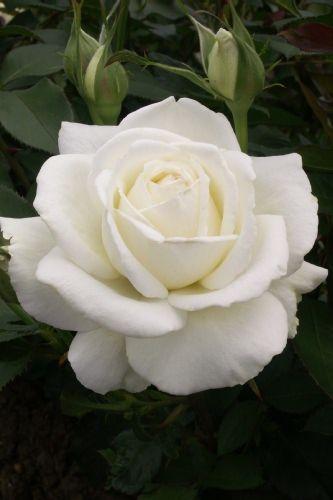 La Rose Blanche sera toujours bien accueillie dans mon cocon !