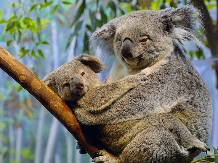 "Koala ""bears"" aren't a type of bear at all, as it turns out, and their non-scientific name doesn't include ""bear"" on the end, as is commonly spoken outside ..."