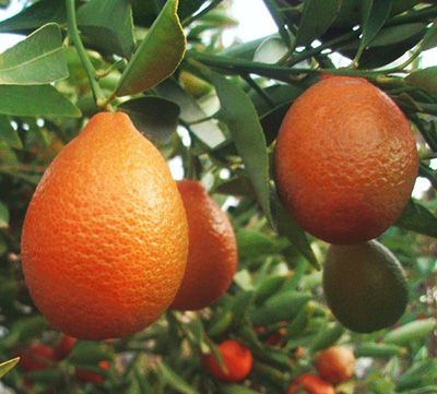 Цитрус Оранжекват