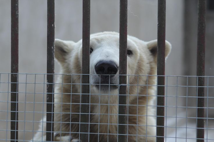 Tallinnan eläintarhassa on noin 7700 eläinyksilöä jääkarhuista afrikannorsuihin sekä erityismaininnan arvoinen vuorikauriiden ja -lammasten kokoelma. Se on maailmanlaajuisestikin harvinainen. Eläintarha sijaitsee taksi-/bussimatkan päässä keskustasta ja on avoinna päivittäin, myös juhlapyhinä. #tallinnzoo #zoo #icebear