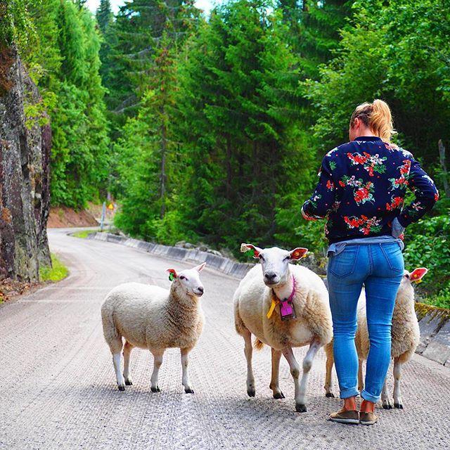 Look whom I found on way up to Mistberget 🐑🐑🐑⛰😄😉 #norway #mistberget #norwegia #europe #europetrip #hiking #mountain #mountains #sheep #animal #animallover #friends #nature #naturelover #nature_perfection #owieczki #cute #surprise #travel #travelling #travelphotography #30xthirty #wearetravelgirls #wanderlust #travelaroundtheworld #travelblog #travelblogger #podróże #polishgirl #beautifuldestinations