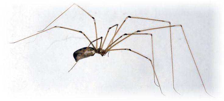 Cellar Spider, Granddaddy long-legs spider, daddy long-legger, vibrating spider or house spider