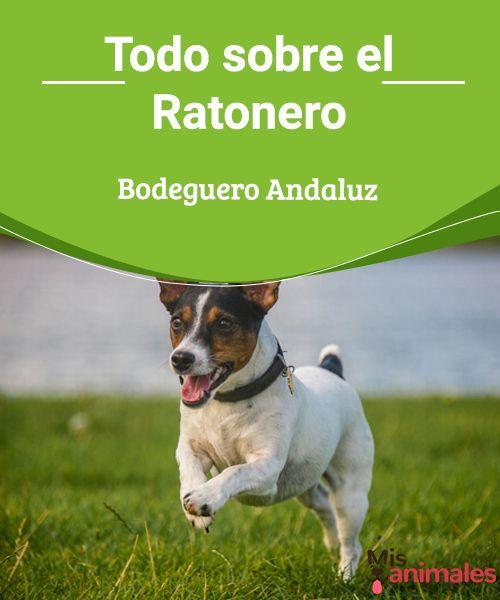 Todo sobre el Ratonero Bodeguero Andaluz España tiene varias razas de perro originarias y el Ratonero Bodeguero Andaluz es una de ellas. Descubre en este artículo a este noble animal. #raza #pequeños #perro #curiosidades