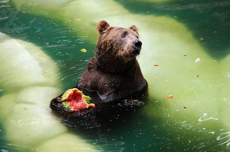 A brown bear eats watermelon in a pool at the zoo in Rio de Janeiro