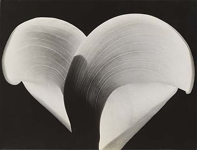 Calla Lily, ca. 1930s, Sonya Noskowiak, gelatin silver print, sheet: 7 3/8 x 9 3/4 in. (18.8 x 24.7 cm.), Smithsonian American Art Museum, Museum purchase made possible through Deaccession Funds, 1986.54