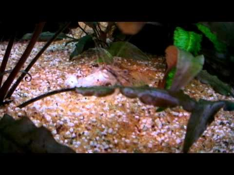 221. Ghost shrimp eating a fish - YouTube