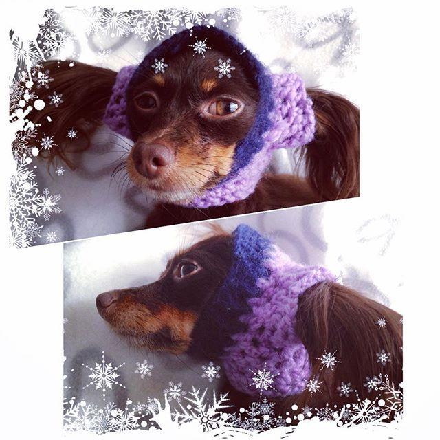Coco surely is not happy with the idea to have a hat 😆 #thinkingaboutwinter 😁 #cocomalenjkayastranajamaika #RusskiyToy #РусскийТой #RussiskToy #RussianToy #KennelIrishano #OsloNorway #cutedog #knittingfordog #clothfordog #люблюнемогу #smalldog #miniaturedog #dogsofinstagram