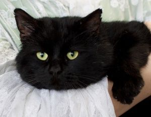 Roger Rabbit is an adoptable Manx Cat in Salt Lake City, UT. 'Hello! My name is Roger Rabbit, a name I earned because of my adorable bunny tail. I'm a loverboy who enjoys being held and snuggled. I ca...