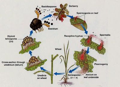 Puccinia graminis Pers.:Pers. f. sp. tritici Eriks. E. Henn. life Cycle