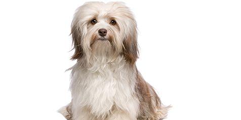 Bichon Havanês - Tudo sobre Raças de Cães Pequenos   CachorroGato