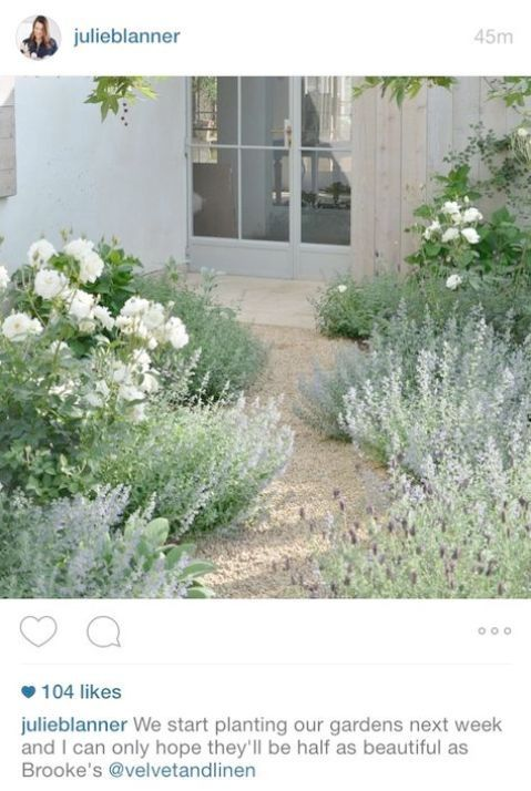 Gray Green And White Garden Lavender Iceberg Roses And Catmint