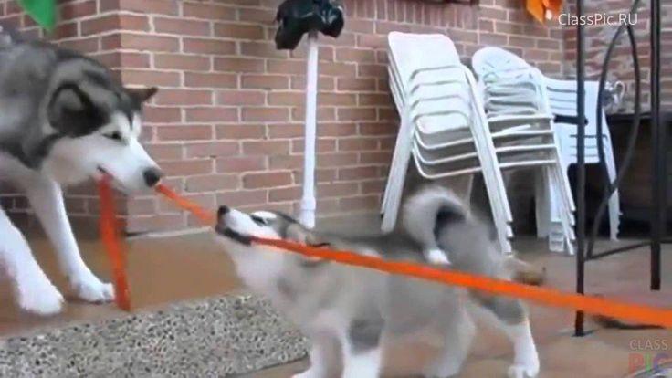 Ржака: хаски перетягивают канаты http://classpic.ru/video/rzhaka-haski-peretyagivayut-kanaty.html   Эти собаки любят порезвиться. Теперь они затеяли поиграть в перетягивание каната…