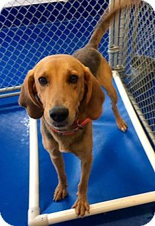 New Kent, VA - Redbone Coonhound Mix. Meet Eli, a dog for adoption. http://www.adoptapet.com/pet/16518572-new-kent-virginia-redbone-coonhound-mix