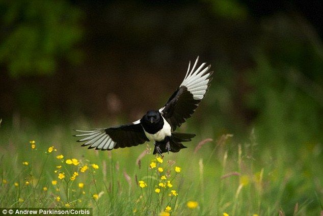 Psychologists from the University of Exeter discovered that, contrary to popular belief, magpies (stock image pictured) are actually frighte...