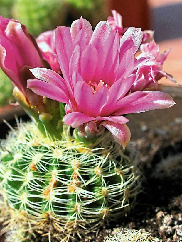 Kwiaty Doniczkowe Kaktusy Cactus Flower Mesquite Tree Planting Succulents