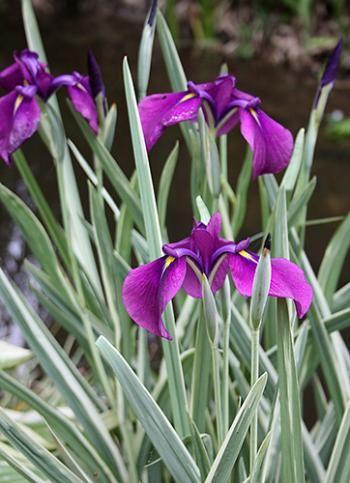 Iris ensata - Japanese iris; moist to wet soils