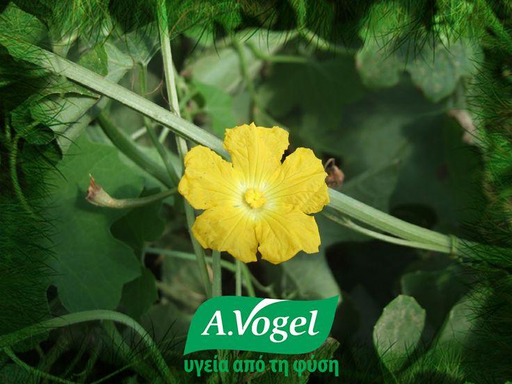 """Το Βότανο του Μήνα: Λούφα (Luffa Operculata).   Αυτό το πολύτιμο τροπικό φυτό χρησιμοποιείται συνήθως σε συνδυασμό με άλλα βότανα για όλες τις περιπτώσεις των αλλεργιών. Δρα """"μπλοκάροντας"""" και αποβάλλοντας τις τοξίνες οι οποίες εξασθενούν το ανοσοποιητικό σύστημα. Το σπουδαιότερο όφελος από τη χρήση του φυσικού αυτού ιάματος, είναι η έλλειψη των ανεπιθύμητων ενεργειών που συνήθως παρουσιάζουν τα συνθετικά αντιισταμινικά όπως υπνηλία ή καταβολή. www.avogel.gr"""