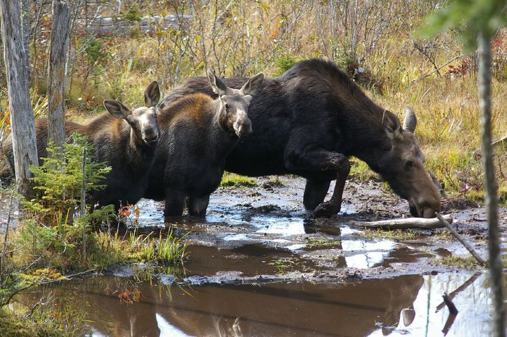 moose in maine | Bethel, Maine Native Takes First Ever Moose