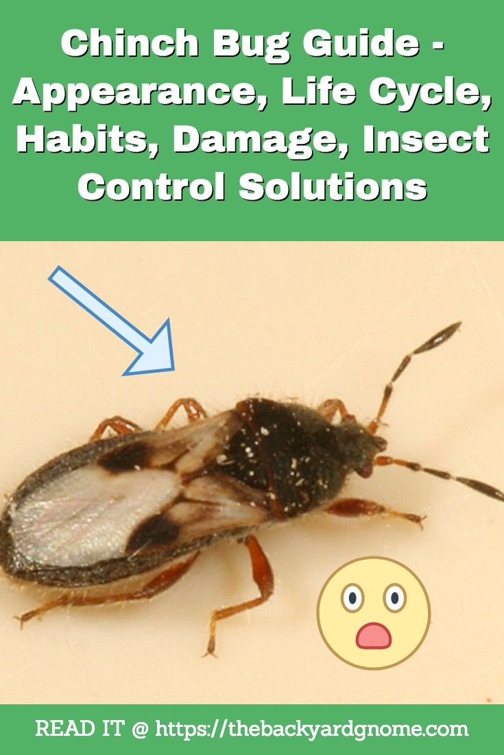 Chinch Bug Guide - Appearance, Life Cycle, Habits, Damage ...