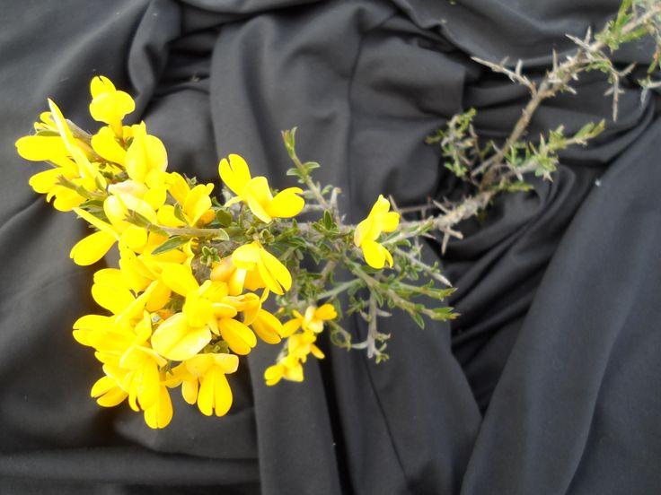 Aliaga (Ulex parviflorus) floración mayo