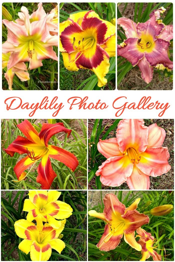 Daylily Photo Gallery Names Of Many Popular Daylily Varieties