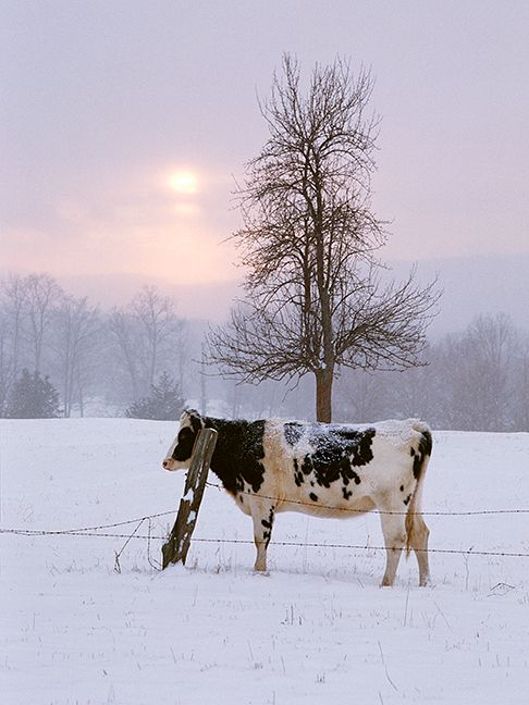 Holsteins, Guernseys and Jerseys—but mostly Holsteins (the black and white cows)…