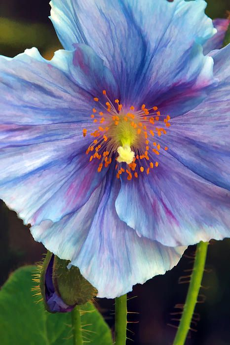 Blue Poppy Print By Sharon M Connolly
