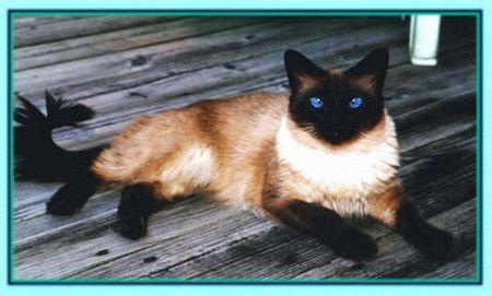Florida Siamese Kittens for Sale FL Balinese Breeders Ragdoll Cats ...