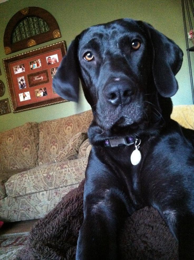 Labrador mix great dane