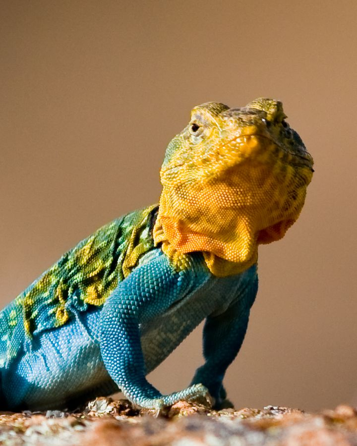 Colorful Pet Lizards Collared Lizard...