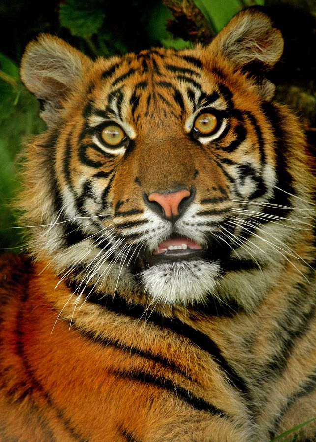 my favorite wild animal is tiger First, i consider myself an animal lover and these places are a peta no-go zone,   lastly, these tigers are extremely well-fed, as opposed to their wild cousins   my favorite wild animal has to be the tiger, and i would pay any.