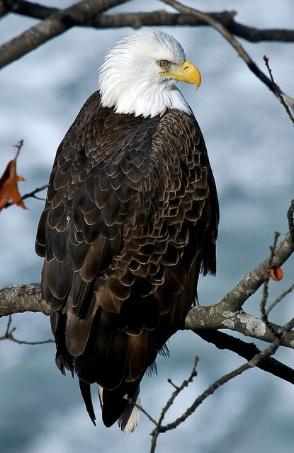 Mature Bald Eagle. See. www.masters-table.org for more of God's living art