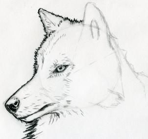 how to sketch a wolf