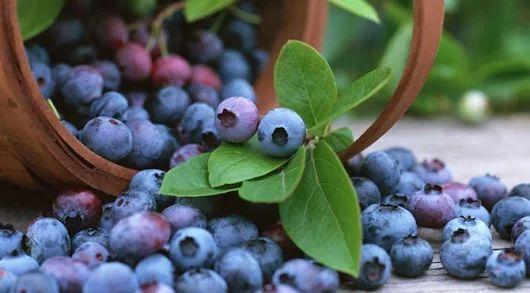 hamilşe aşerme meyveleri  yaban mersini, her mevsim taze, en doğal yaban mersini