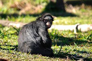 Macaco-aranha ou coatá é o nome popular dos macacos do gênero Ateles, da família Atelidae.
