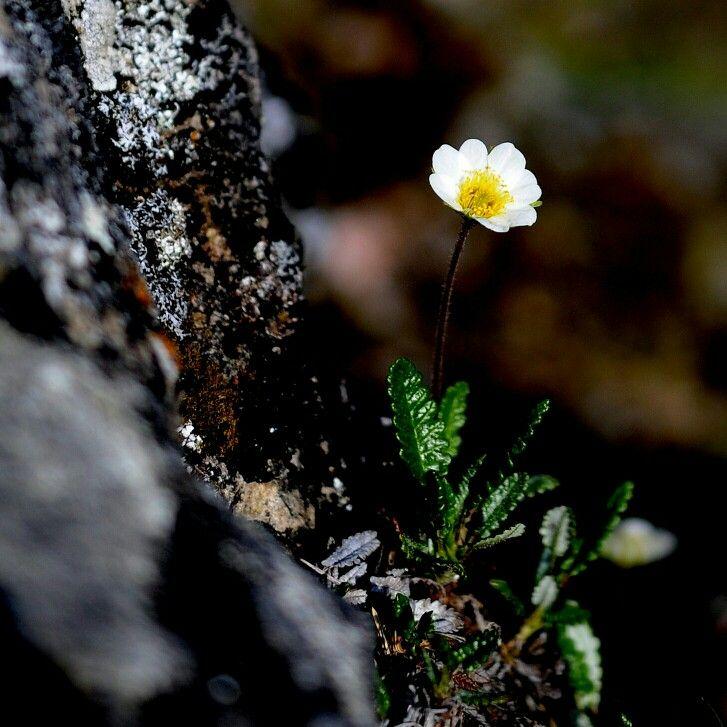 Dryas octopetala Oulanka nationalpark