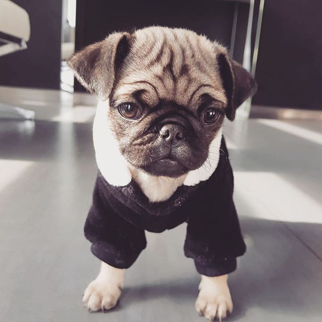 That Is A Cute Pig Outfit Cute Pugs Pugs Funny Dog Help