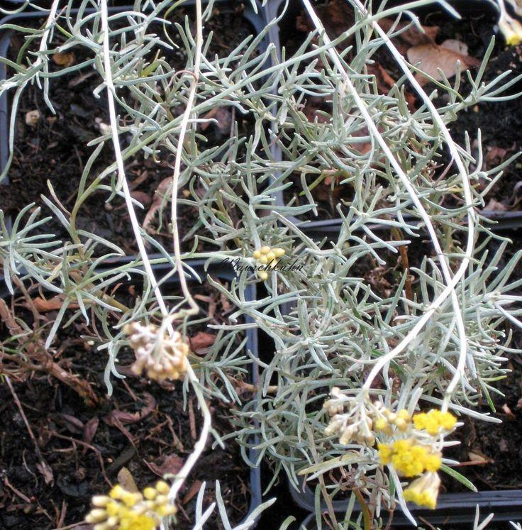 Kräuter-Steckbrief Currykraut (Helichrysum italicum) - Eigenschaften und Verwendung