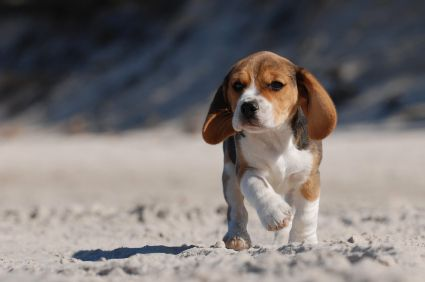 Beagle Pictures | Photos and Images of the Beagle