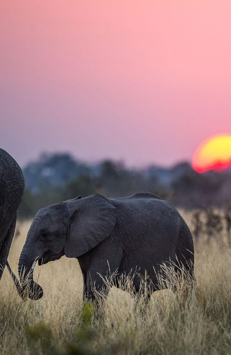 Elephants, the largest land mammals, still face being killed for their tusks.