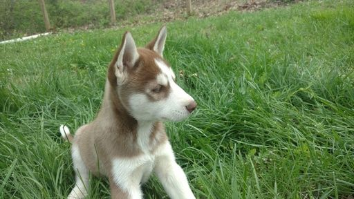 Litter of 3 Siberian Husky puppies for sale in CHARLESTON, IL. ADN-27390 on PuppyFinder.com Gender: Male. Age: 7 Weeks Old