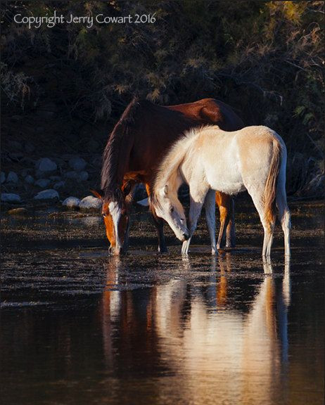 Wild Colt And Mare Grazing On Salt River by PhotosbyJerryCowart