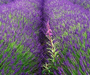 Okanagan Lavender Herb Farm, Kelowna BC