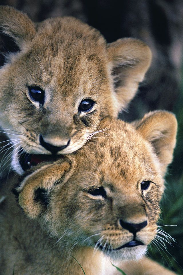 9b3c37f65528c51f6502308c7be96a22--baby-lions-baby-tigers.jpg 640×960 pixels