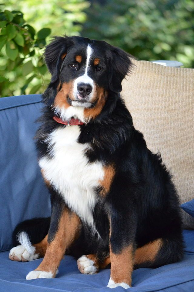 Bernese Mountain Dog — a large, heavy dog with a distinctive silky tri-colored coat. Part of the Swiss Mountain Dog family, this breed enjoys cooler climate and was historically used to pull carts, drive dairy cattle, watch the farm and act as companions to farmers.