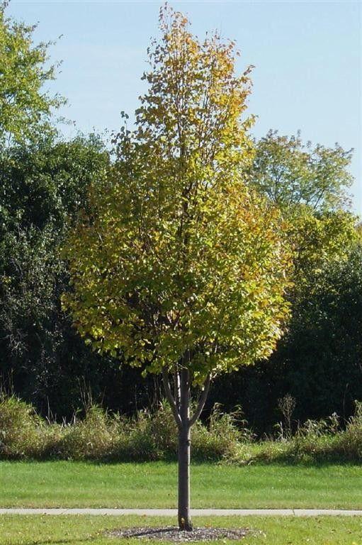 Greenspire Linden Tree Greenspire Littleleaf Linden